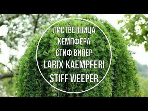 Лиственница Кемпфера Стиф Випер (Larix kaempferi Stiff Weeper)  Краткое описание сорта.
