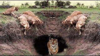 Lion vs Tiger vs Crocodile - Hyena vs Leopard vs Wild Dogs! Battles of the Strongest Wild Animals