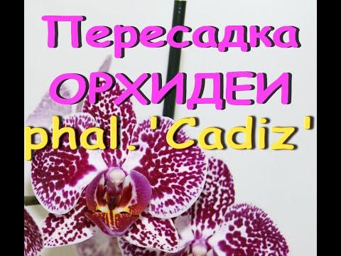 "Пересадка ОРХИДЕИ phal.'CADIZ' (фаленопсис Антура ""Кадис"")."