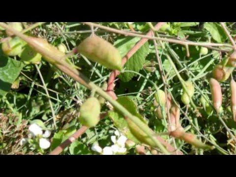 Как получить свои семена редиса.