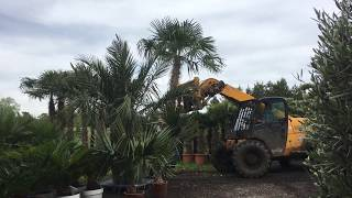 Huge Trachycarpus Fortunei Palm Trees