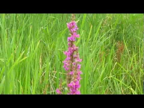 дербенник вязолистный Lythrum salicaria L Плакун трава