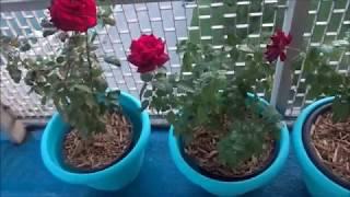 Mr Lincoln, Chrysler Imperial, Oklahoma Hybrid Tea Roses.  Part 2