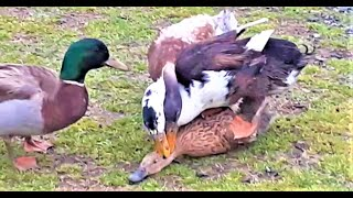 MEETING FOUR DUCKS MALLARD & BEKIN DUCKS AFTER THE CREATE A NEW HYBRID -FARMA SKYDRA.GR