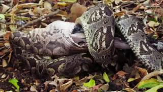 preview picture of video 'Big snake, Malagasy boa, eating chicken in Berenty, Madagascar'