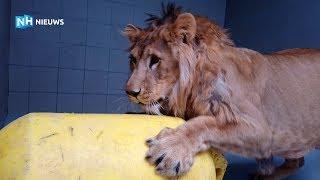 Leeuw Simba leert spelen voor hij uit quarantaine mag