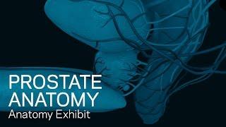 Prostate Anatomy - Anatomical Animation