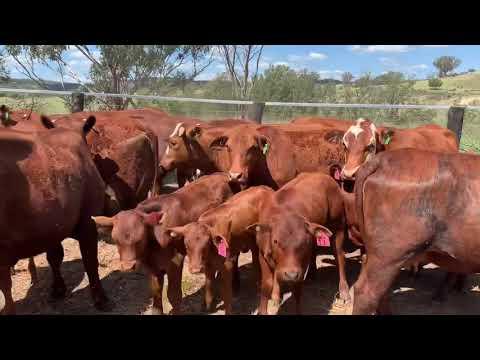 14 Station Mated Heifers & 14 Calves