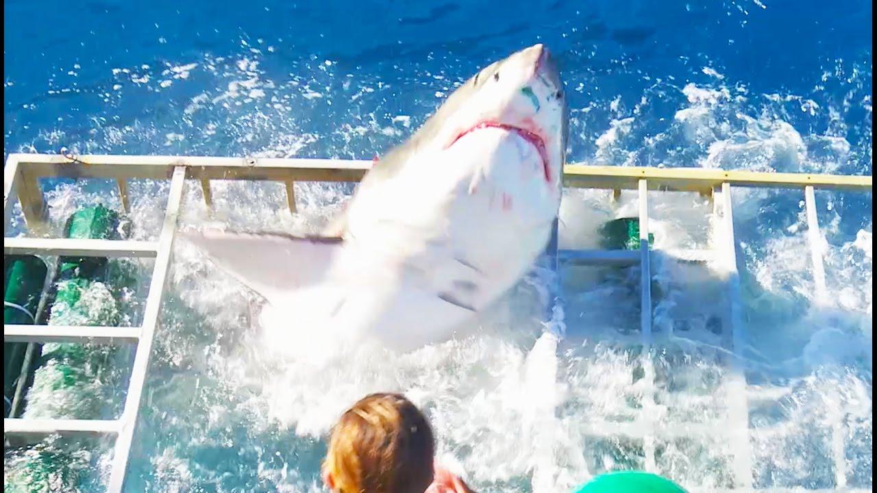 В Мексике большая белая акула попала в клетку к дайверу