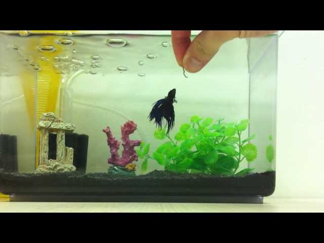 Betta fish eating blood worms