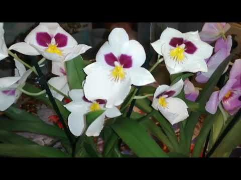 Мильтония уход за цветком в домашних условиях