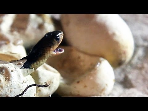 Egyptian Cobras Hatching 01 - Dangerous Animals