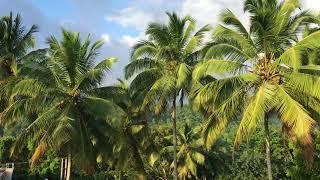 Coconut trees in Sri Lanka
