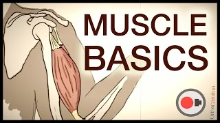 Muscular System: Muscle Basics via Sportology
