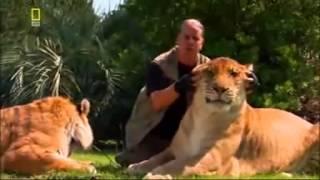 Лигр - гибрид льва и тигра