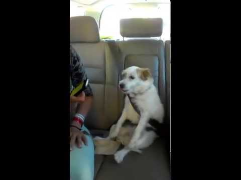 Adorable Dog Uses Own Seatbelt!