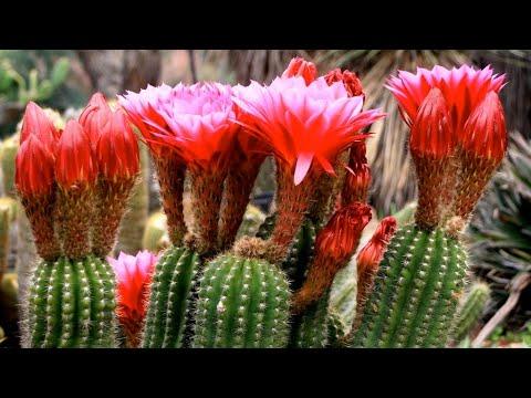 tratamentul cactusilor și paraziților)