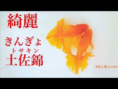美しい金魚~土佐錦魚(トサキン)goldfish 日本三大地金の1つ綺麗な きんぎょ です