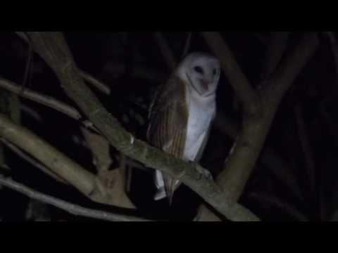 Barn Owl's Screams Sound Like Murder