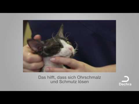 Die Ohrreinigung bei der Katze