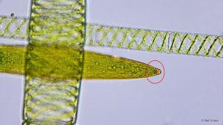 Microcosmos - Alga misteriosa -