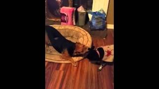 Video Of Adoptable Pet Named Buddy Beagle JS