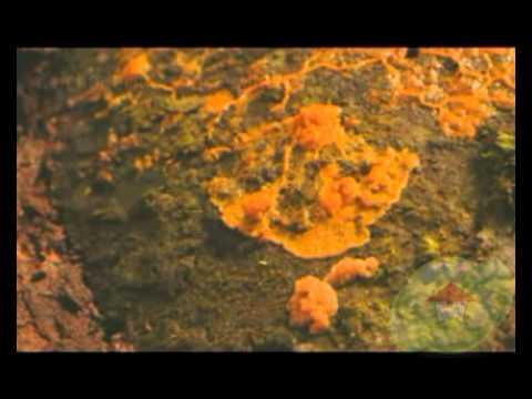 mikoparaziták a trichodermában