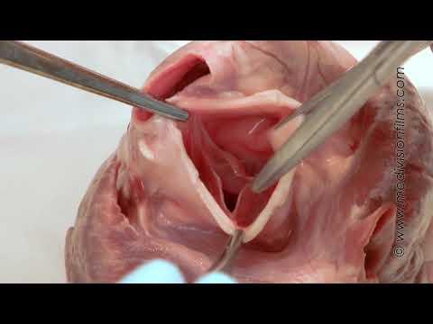Cardiac Anatomy