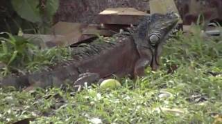 preview picture of video 'BELIZE C.A  Iguana. along the sittee river'