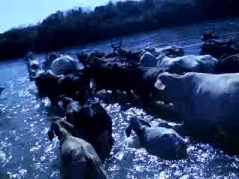 atravessando gado no rio das velhas (em Lassance)