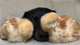 Приколы с животными 2018 Смешные Собаки и Кошки Калейдоскоп за 13.05.2013