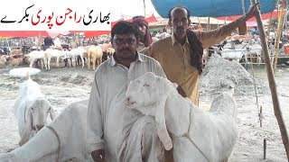 rajanpuri bakra for sale in lahore 2018 - मुफ्त