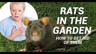 Rats in the garden: Advice, control and elimination