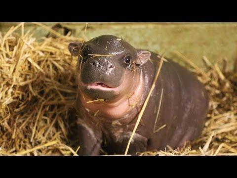 Meet an Adorable Pygmy Hippo