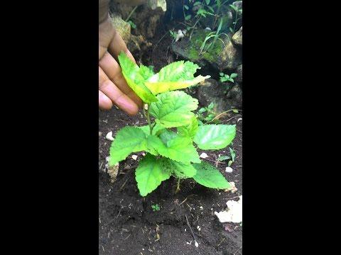 Video cara memperbanyak tanaman murbei