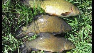 Ловля линя на поплавочную удочку в мае.  Tench Fishing in the float rod in May.