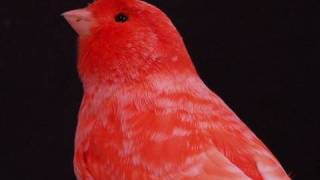 Canarios Rojos Nevados, Intensos Y F1