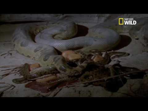 La naissance d'une portée de redoutables anacondas