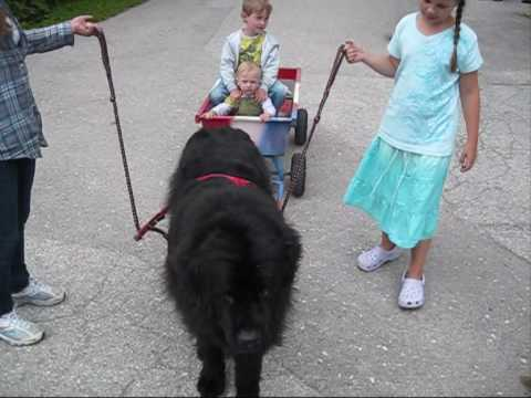 Hofhund zieht den Bollerwagen
