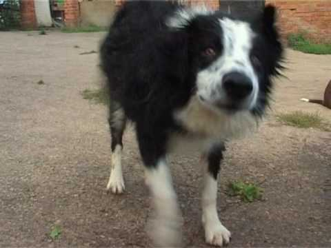 Border Collies Amazing Dogs Play in Water Sheepdog Cute Puppy splashing wet DVD Movie Trailer