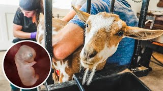 Breeding our MINIATURE goat (with Artificial Insemination) PART 1