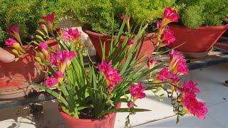 How to grow and care Freesia flowers    How to grow freesia bulbs