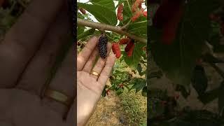 preview picture of video 'หม่อนนอก สวนสามต้นกำแพงเพชร เบอร์089-6417527'
