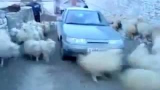 Sheep circle pit
