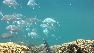"HKD 11 ""Gold Fever 2"" Spear Fishing Hawaii"