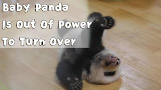 Baby Panda Is Out Of Power To Turn Over | iPanda