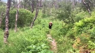 Close Grizzly Bear Encounter - Katmai National Park, Alaska