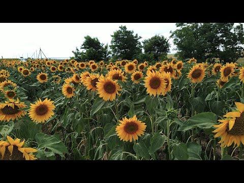 Подсолнух цветёт а в гнёздах не густо