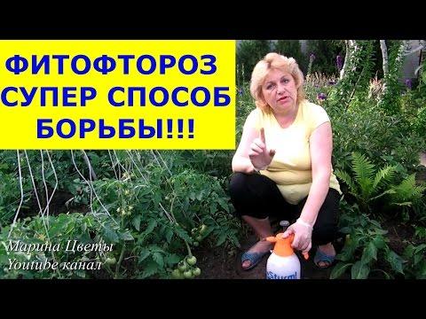 ФИТОФТОРОЗ - Эпидемия началась! Обрабатываем вместе со мной помидоры, огурцы от фитофторы!