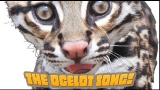 How Many Spots Has An Ocelot Got? An endangered species song your kids will love